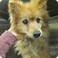 Adopt A Pet :: Perri the Pom - Beverly Hills, CA