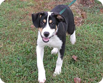 Greater Swiss Mountain Dog/Bernese Mountain Dog Mix Puppy for adoption in Somerset, Kentucky - Lilly- ADOPTED