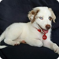 Adopt A Pet :: Crisp - Royal Palm Beach, FL