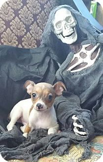 Rat Terrier/Chihuahua Mix Puppy for adoption in Houston, Texas - KILLER CROC