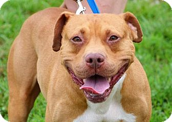 Pit Bull Terrier/Labrador Retriever Mix Dog for adoption in DuQuoin, Illinois - Taco