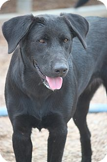 Labrador Retriever Mix Dog for adoption in Hooksett, New Hampshire - Karana