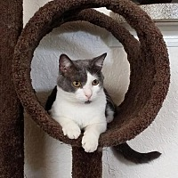 Domestic Shorthair Cat for adoption in Apopka, Florida - Tato