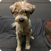 Wheaten Terrier Mix Dog for adoption in Agoura Hills, California - 'FAI'