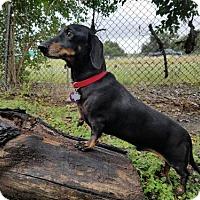 Adopt A Pet :: Landjager (aka L.J.) - San Antonio, TX