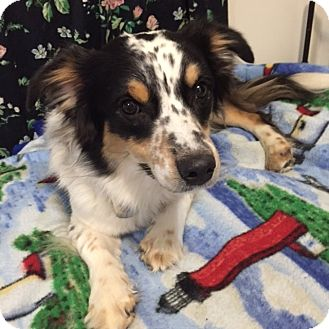Australian Shepherd/Corgi Mix Dog for adoption in Minneapolis, Minnesota - Casey Jones