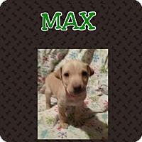 Adopt A Pet :: Max - Brooklyn Center, MN