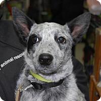 Adopt A Pet :: Ruger - Brooklyn, NY