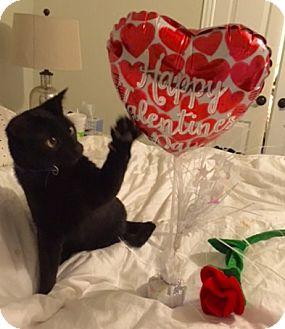 Domestic Mediumhair Cat for adoption in Dallas, Texas - Batman