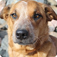 Adopt A Pet :: Bonnie - Westminster, CO