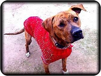 Pit Bull Terrier/Labrador Retriever Mix Dog for adoption in Fowler, California - Coco Puff