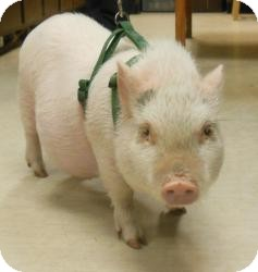 Pig (Potbellied) for adoption in Gary, Indiana - Penelope
