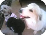 Great Pyrenees/Golden Retriever Mix Dog for adoption in Cheshire, Connecticut - Hope