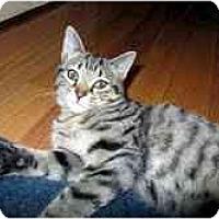 Adopt A Pet :: Gifford - Arlington, VA