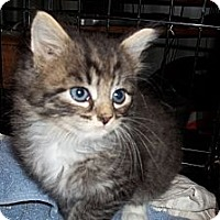 Adopt A Pet :: Clyde (sister is Bonnie) - Acme, PA