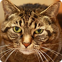 Adopt A Pet :: Misty - Reading, PA