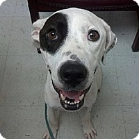 American Staffordshire Terrier/Mastiff Mix Dog for adoption in Irving, Texas - Dottie