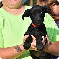 Adopt A Pet :: Henry - Charlemont, MA