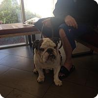 Adopt A Pet :: Hommie - Santa Ana, CA