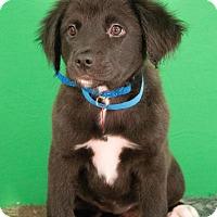 Adopt A Pet :: Chevy - Berkeley Heights, NJ