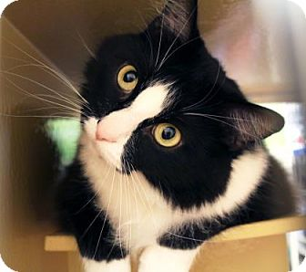 Domestic Shorthair Cat for adoption in Bellevue, Washington - Tommy