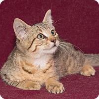 Domestic Shorthair Kitten for adoption in Elmwood Park, New Jersey - Tanner