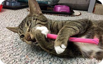 Domestic Shorthair Cat for adoption in Millersville, Maryland - JoJo