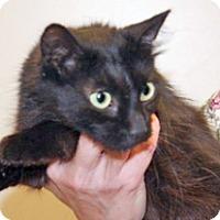 Domestic Shorthair Cat for adoption in Wildomar, California - Penny