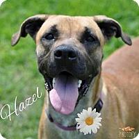 Adopt A Pet :: Hazel - Manchester, CT