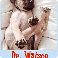 Adopt A Pet :: Dr. Watson - Broken Arrow, OK