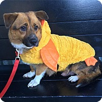 Corgi Mix Dog for adoption in Redondo Beach, California - Molly