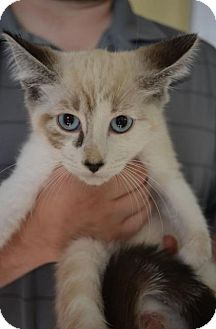 Domestic Shorthair Kitten for adoption in Danbury, Connecticut - Abigail