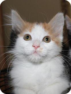 Domestic Longhair Kitten for adoption in South Saint Paul, Minnesota - Ruby