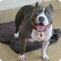 Adopt A Pet :: COLOSSUS - Springfield, MA