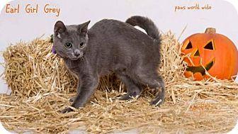 Russian Blue Kitten for adoption in Westlake, California - EARL GIRL GREY