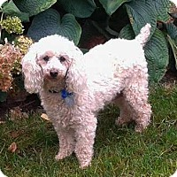 Miniature Poodle Dog for adoption in Mississauga, Ontario - Sonny