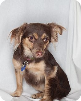 Spaniel (Unknown Type)/Papillon Mix Puppy for adoption in Santa Monica, California - Lila