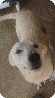 Labrador Retriever Mix Dog for adoption in Manchester, New Hampshire - Mork