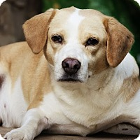 Beagle Mix Dog for adoption in Albany, New York - Shelby
