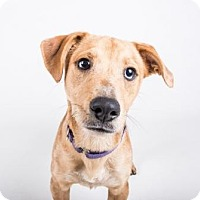 Adopt A Pet :: Honey - Atlanta, GA