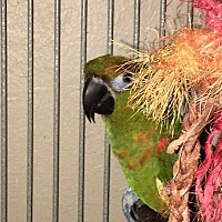 Conure for adoption in Punta Gorda, Florida - Trabella