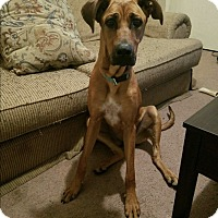 Adopt A Pet :: Maci - Harrisonburg, VA