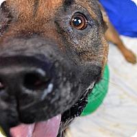 Rottweiler/German Shepherd Dog Mix Dog for adoption in Monroe, Michigan - Alias