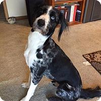Adopt A Pet :: Remington - Fenton, MO