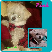 Adopt A Pet :: Pink - LAKEWOOD, CA