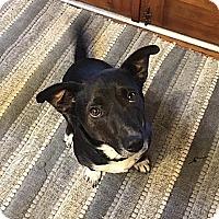 Adopt A Pet :: Scout - Lawrenceville, GA