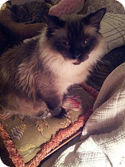 Ragdoll Cat for adoption in Columbus, Ohio - Smokey Klaus
