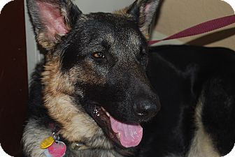 German Shepherd Dog Dog for adoption in Fort Worth, Texas - Buddy