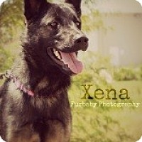 Adopt A Pet :: Xena - Justin, TX