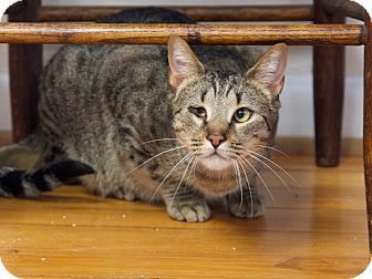 Domestic Shorthair Cat for adoption in Chattanooga, Tennessee - Jackson